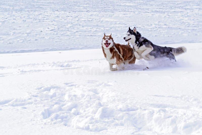 Syberyjskiego husky psy Syberyjskiego husky psy na białym tle piękny łuskowaty siberian Śniegów psy Psi sanie zdjęcia stock