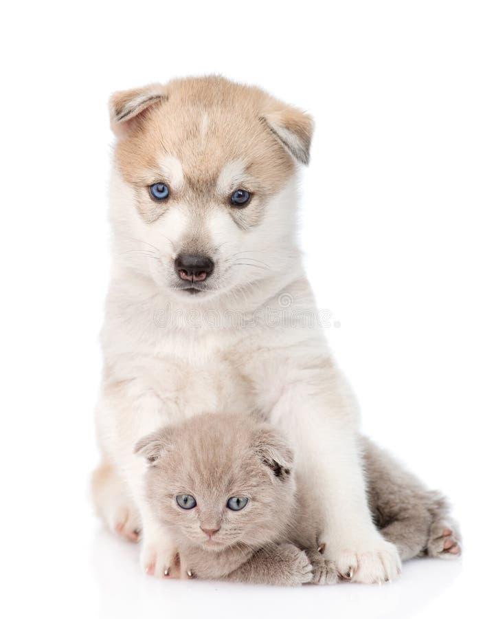 Syberyjskiego husky szczeniak ściska szkockiej figlarki Odizolowywający na bielu zdjęcia royalty free