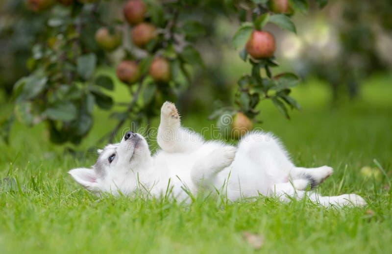 Syberyjskiego husky szczeniaka sztuka na trawie zdjęcia stock