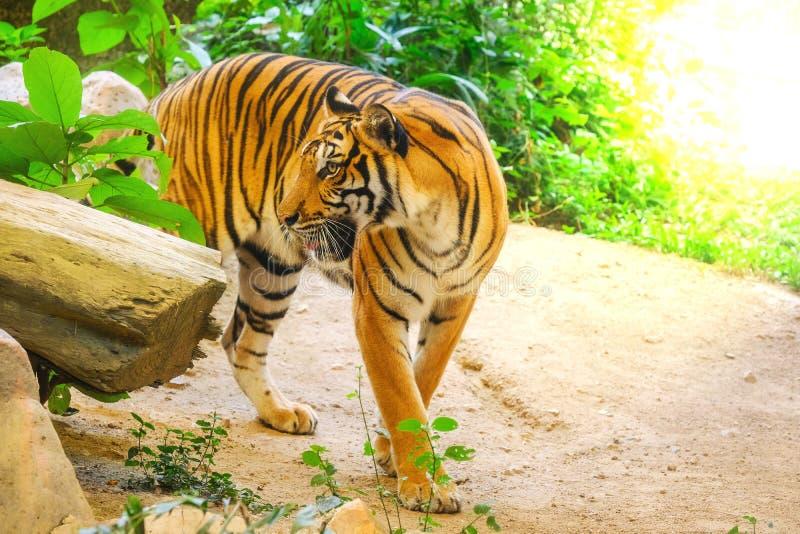Syberyjskiego tygrysa Panthera Tigris altaica zdjęcie stock