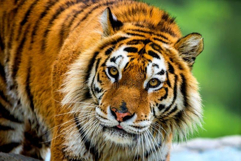 Syberyjskiego tygrysa portret Agresywny gapienie twarzy znaczenia niebezpiecze?stwo dla zdobycza Zbli?enie widok gniewny wyra?eni zdjęcie royalty free