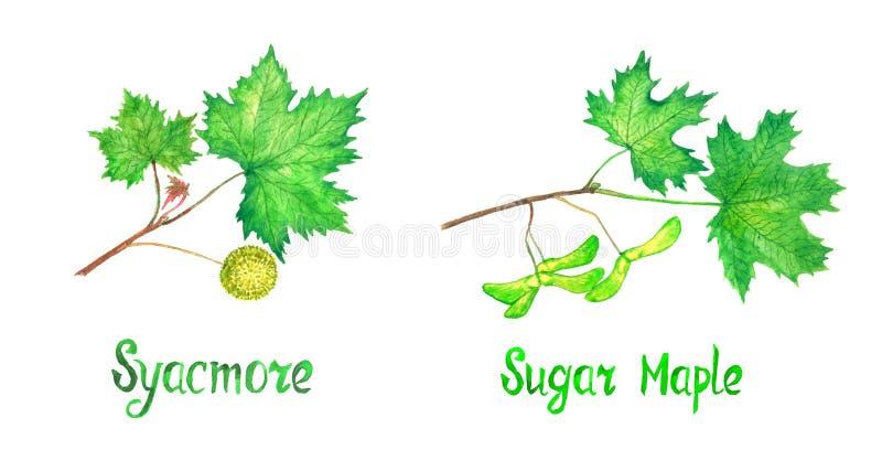 Sycamore αμερικανικό sycamore δέντρο, κλάδος σφενδάμνου ζάχαρης occidentalis platanus με τα πράσινα φύλλα και φρούτα, σπόροι, χέρ διανυσματική απεικόνιση