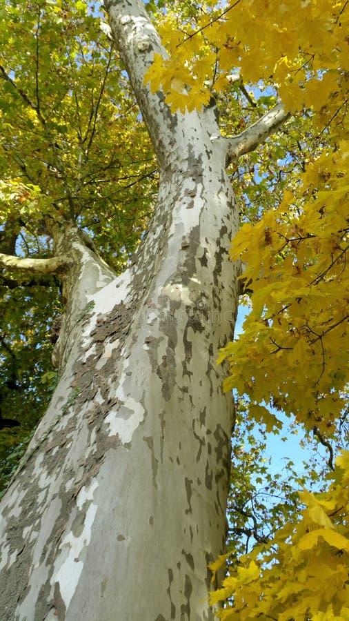 Sycamore δέντρο στοκ εικόνες με δικαίωμα ελεύθερης χρήσης