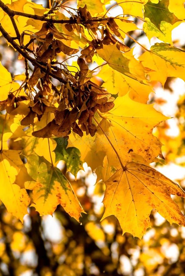 Sycamore φύλλα στοκ φωτογραφίες