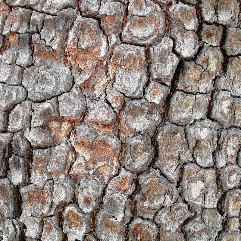 Sycamore bark royalty free stock image