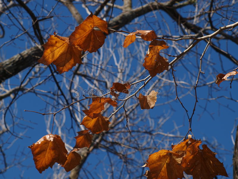 Sycamore Leaves Against A Blue Sky royalty free stock photography