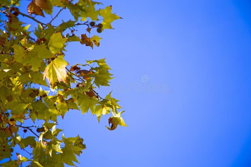 Sycamore& x27; s lämnar upplyst vid solen royaltyfri fotografi