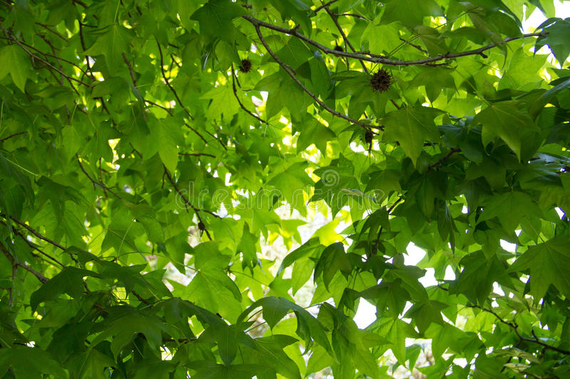 Sycamore thicket sunny morning. Green sycamore thicket sunny morning royalty free stock photos