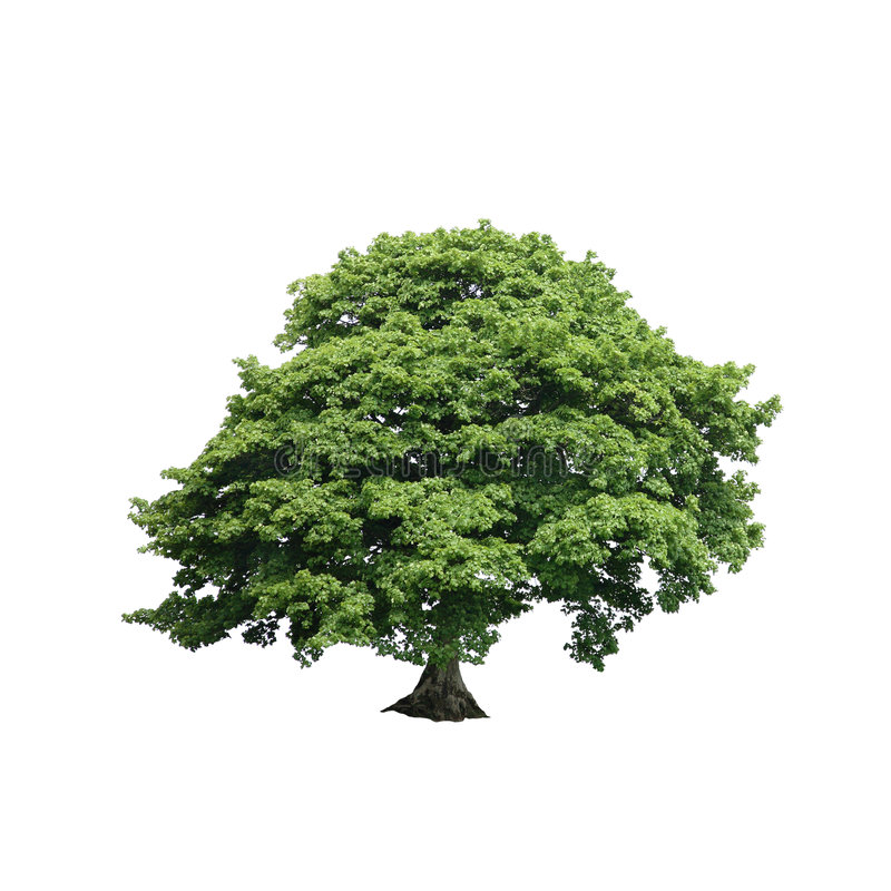 Sycamore Tree. In full leaf in summer over white background royalty free stock photos