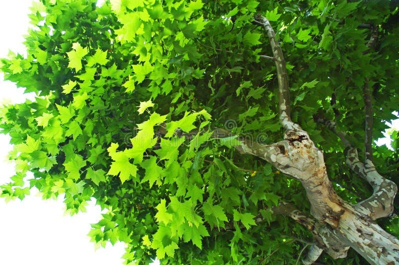 Sycamore Tree stock image