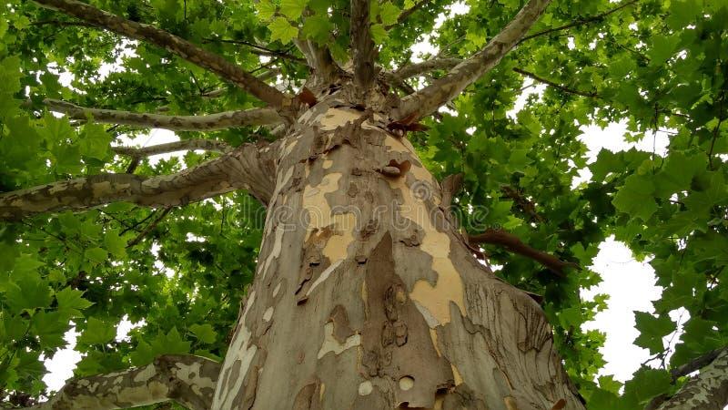 Sycamore tree_2 στοκ φωτογραφίες με δικαίωμα ελεύθερης χρήσης