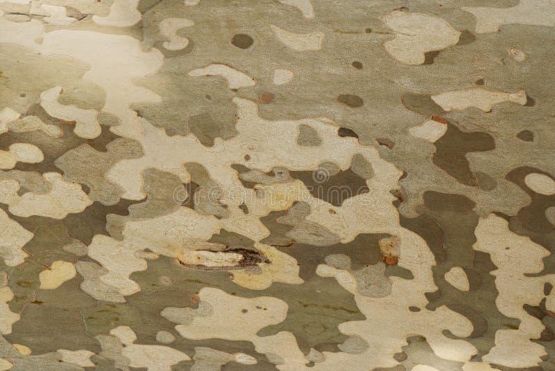 The sycamore tree bark. stock image