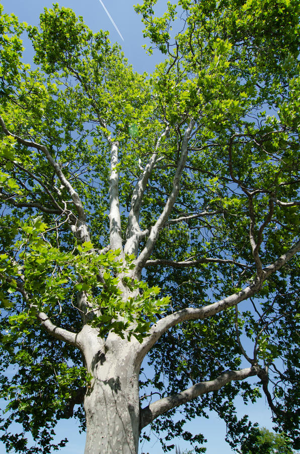Sycamore tree. With blue sky royalty free stock photo