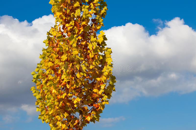 Sycamore Tree in Fall Colors stock photo