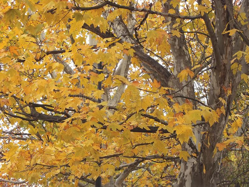 Sycamore tree in fall stock images