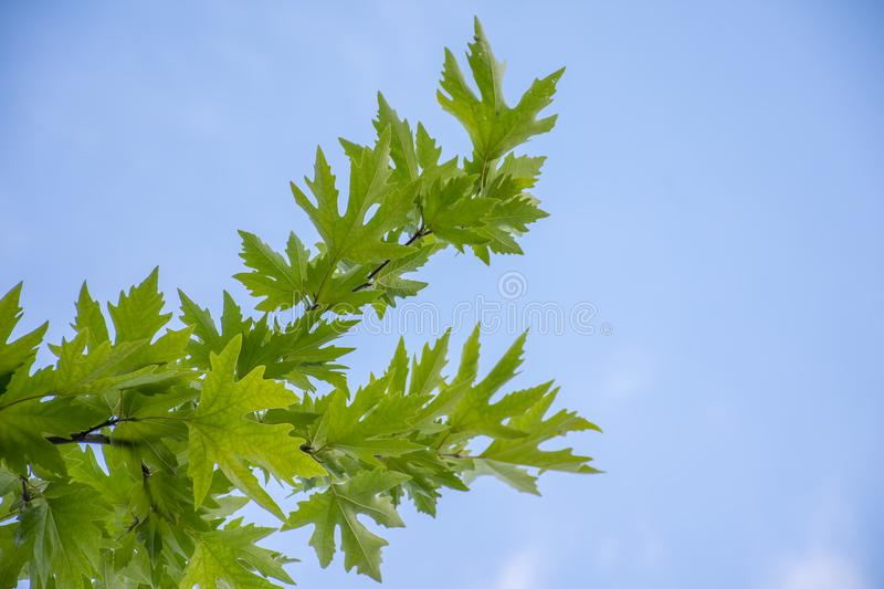 Sycamore tree leafs and blue sky royalty free stock images