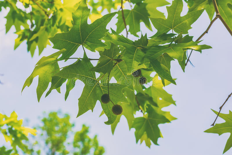 Sycamore tree. Leaves and seeds stock photography