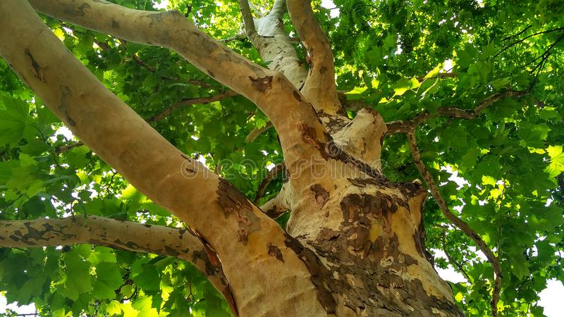 Sycamore tree. Platanus orientalis. Bottom view. Shaded plane tree trunk with branches and green summer foliage. Park trees edition royalty free stock images