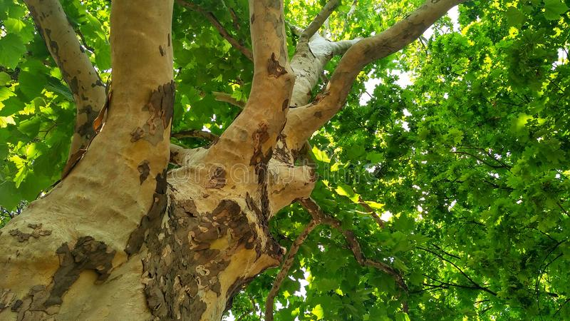 Sycamore tree. Platanus orientalis. Bottom view_1. Sycamore tree. Platanus orientalis. Bottom view. Shaded plane tree trunk with branches and green summer stock photos