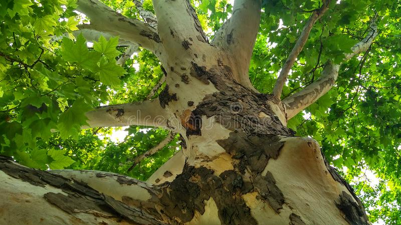 Sycamore tree. Platanus orientalis. Bottom view_7. Sycamore tree. Platanus orientalis. Bottom view. Shaded plane tree trunk with branches and green summer stock photos