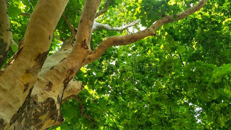 Sycamore tree. Platanus orientalis. Bottom view_2. Sycamore tree. Platanus orientalis. Bottom view. Shaded plane tree trunk with branches and green summer royalty free stock images