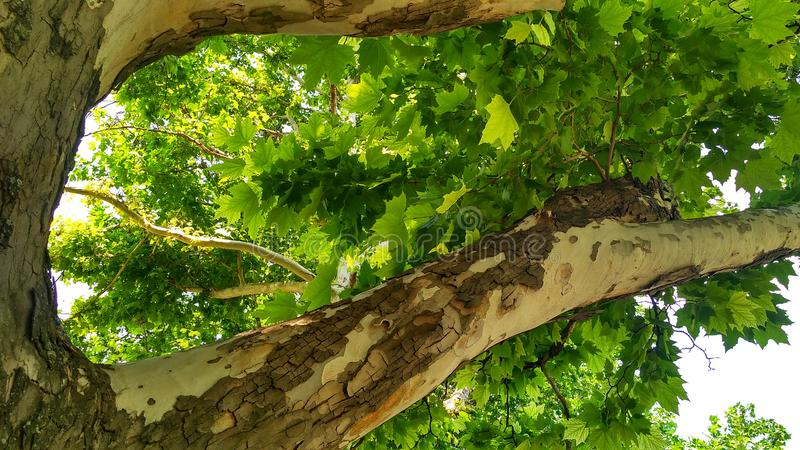 Sycamore tree. Platanus orientalis. Bottom view_4. Sycamore tree. Platanus orientalis. Bottom view. Shaded plane tree trunk with branches and green summer stock image