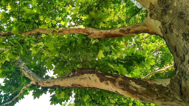 Sycamore tree. Platanus orientalis. Bottom view_5. Sycamore tree. Platanus orientalis. Bottom view. Shaded plane tree trunk with branches and green summer royalty free stock images
