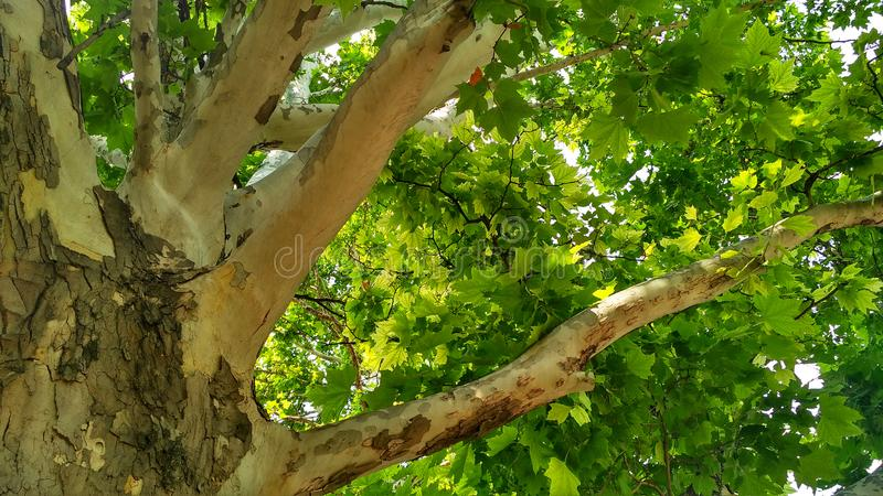 Sycamore tree. Platanus orientalis. Bottom view_6. Sycamore tree. Platanus orientalis. Bottom view. Shaded plane tree trunk with branches and green summer royalty free stock photo