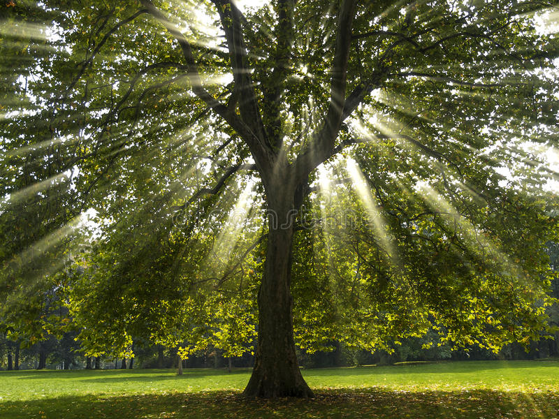 Sycamore Tree in the Sun. Sycamore tree with the suns rays shining through the branches stock photo
