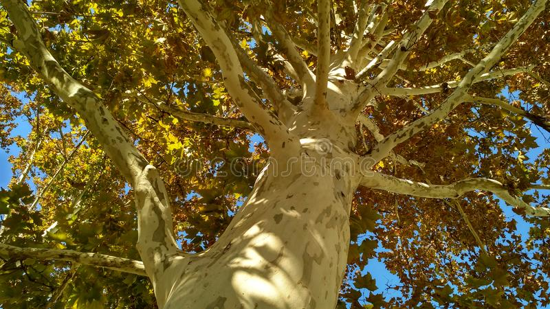 Sycamore tree trunk with branches and fall foliage stock photo