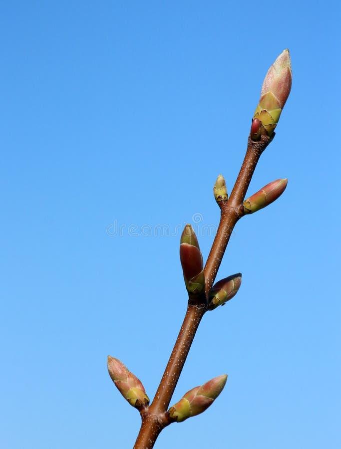 Sycamore-Zweig mit Keimen im Frühjahr kurz vor dem Öffnen lizenzfreie stockbilder