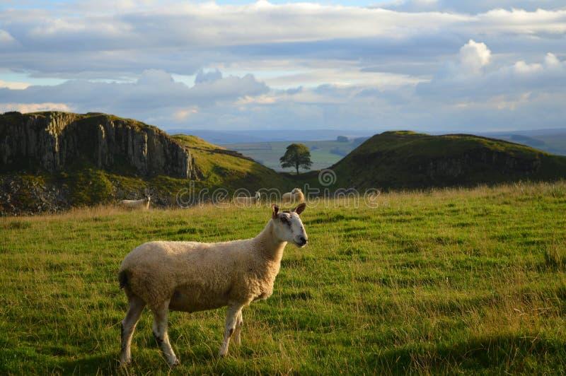 Sycomoor Gap op Hadrians-Muur stock fotografie