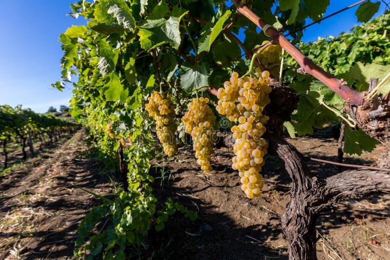 Sycylijczyk ziemia z winogronami dla gronowego żniwa zdjęcia royalty free
