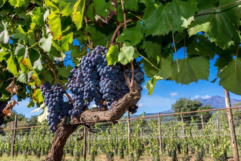 Sycylijczyk ziemia z winogronami dla gronowego żniwa obrazy stock