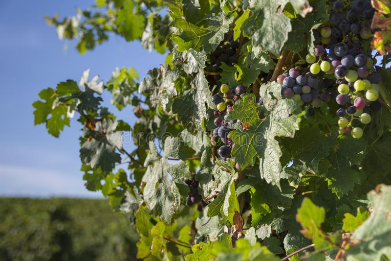 Sycylijski winnica obrazy stock