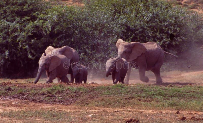 Sydafrika: Elefanter som kör till vattenhålet i Addo Elephant Park arkivbilder