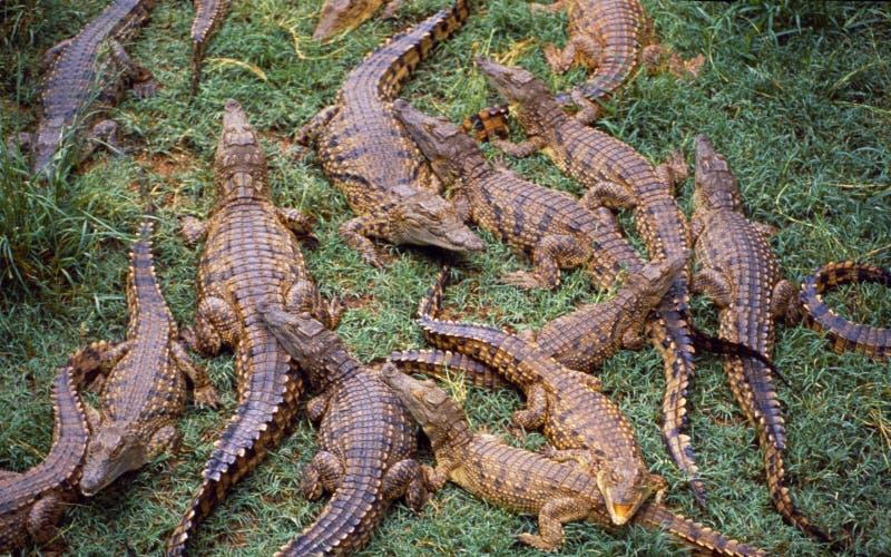 Sydafrika: En krokodillantgård i den lilla karooen nära Outshoorn i den östliga udden arkivfoton