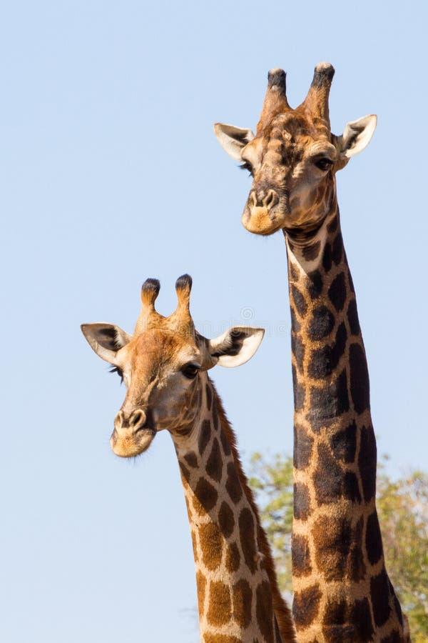 Sydafrika Kruger nationalpark royaltyfria foton