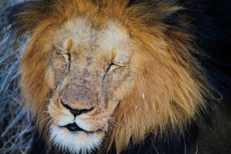 Sydafrika lejon som ligger på savannah arkivbild