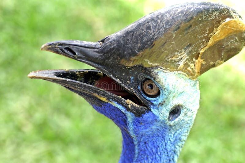 sydlig casuarius för fågelcasariuscassowary royaltyfri bild