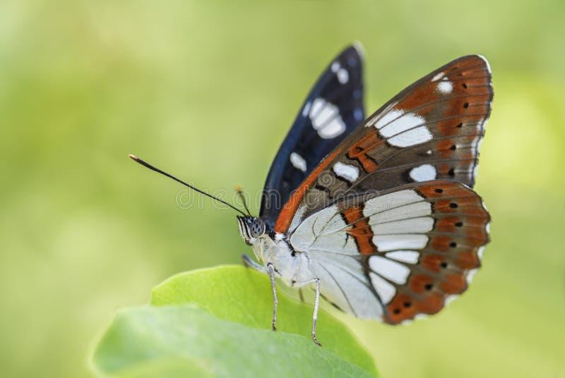 Sydlig fjäril för vit amiral - Limenitisreducta royaltyfria foton
