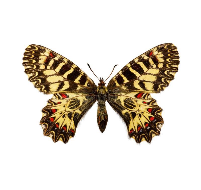 sydlig fjärilsfestoon arkivfoton