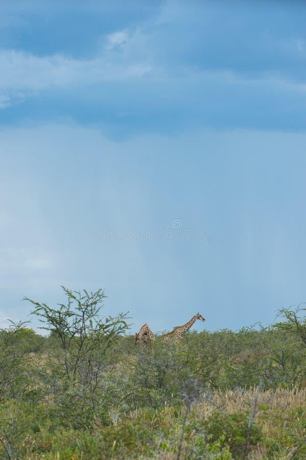 Sydlig giraff royaltyfria foton
