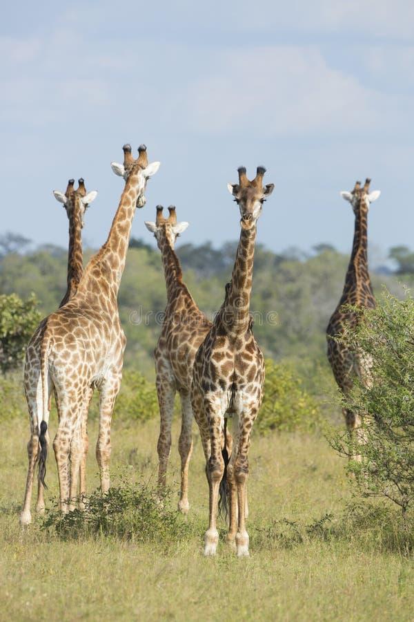 Sydlig grupp Sydafrika för giraff (Giraffacamelopardalis) arkivfoton