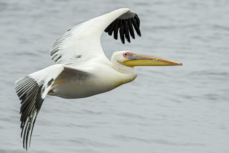 Sydlig Guling-fakturerad Hornbill - Tockus leucomelas royaltyfria bilder