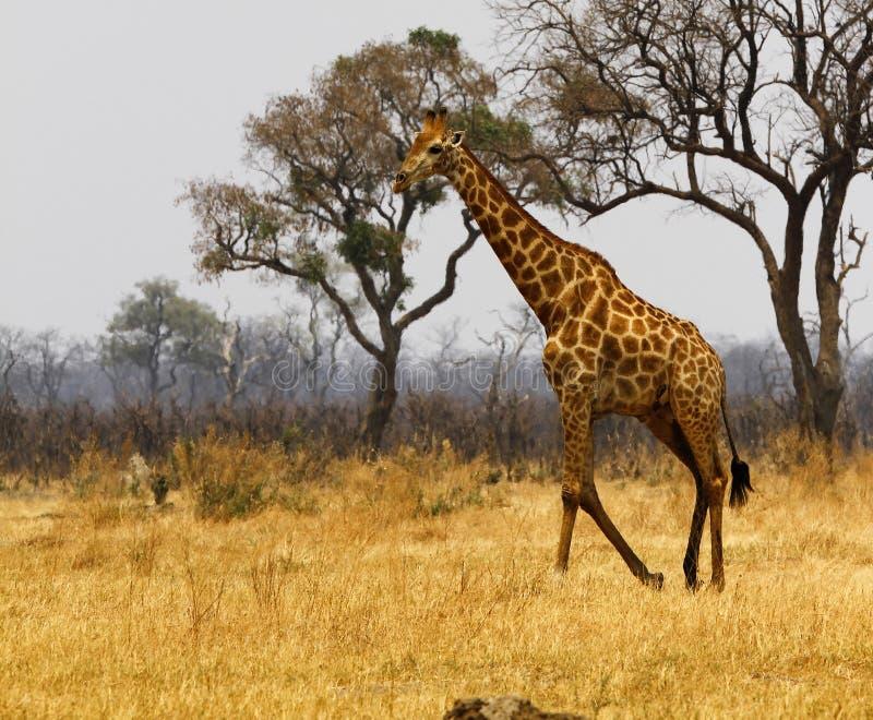 Sydlig Reticulated giraff fotografering för bildbyråer