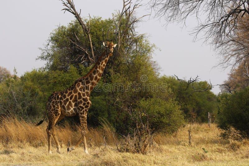 Sydlig Reticulated giraff arkivbilder