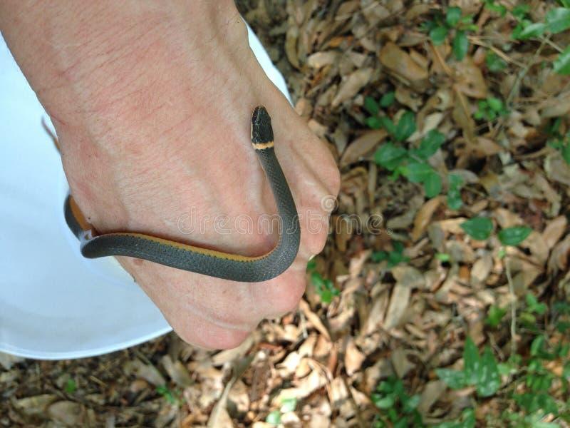 Sydlig Ringneck orm royaltyfri foto