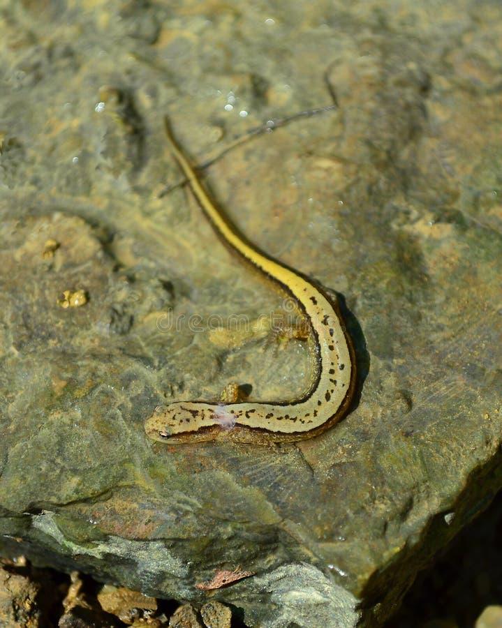 Sydlig salamander i liten vik royaltyfria foton