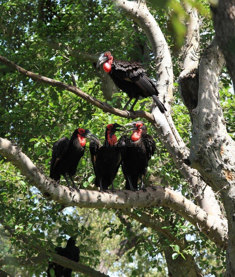 Sydlig slipad Hornbill i den Kruger nationalparken royaltyfria bilder